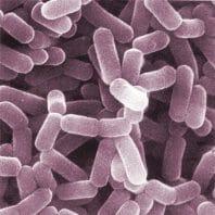 bakterie probiotyczne pod mikroskopem