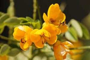 kwiaty senesu