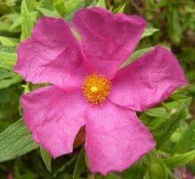kwiat czystka