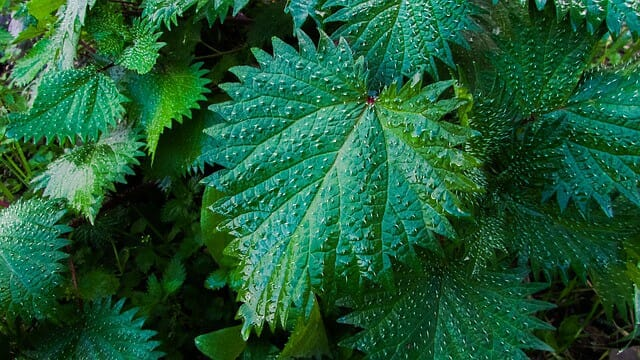 liście pokrzywy