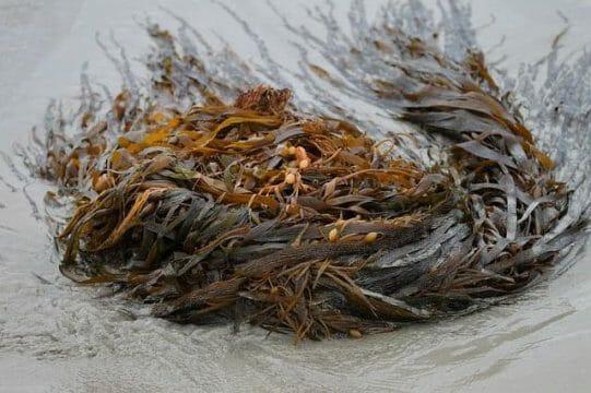 wysuszony morszczyn pęcherzykowaty