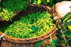 zielona herbata w koszu