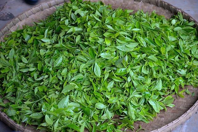zielona herbata - świeże liście