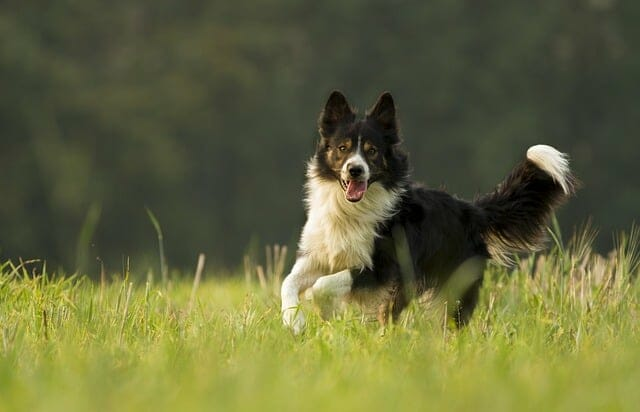 pies biega po łące