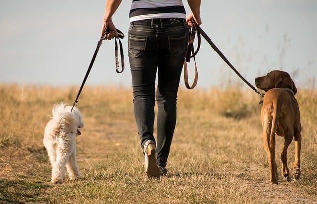kobieta spaceruje z psami